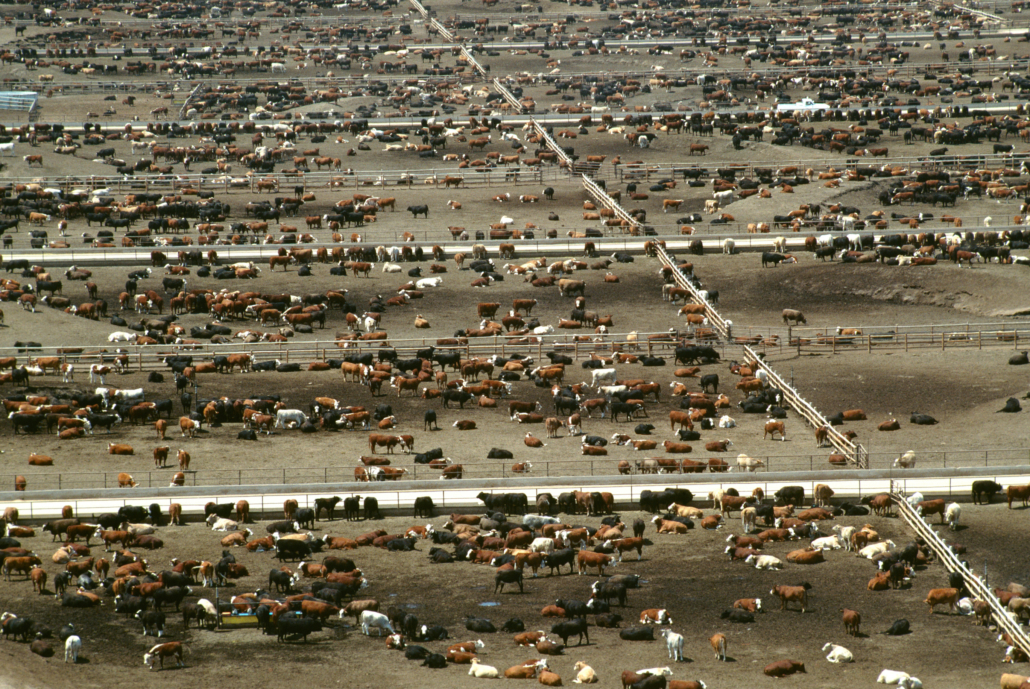 The Omnivore's Dilemma Book Review Feedlot