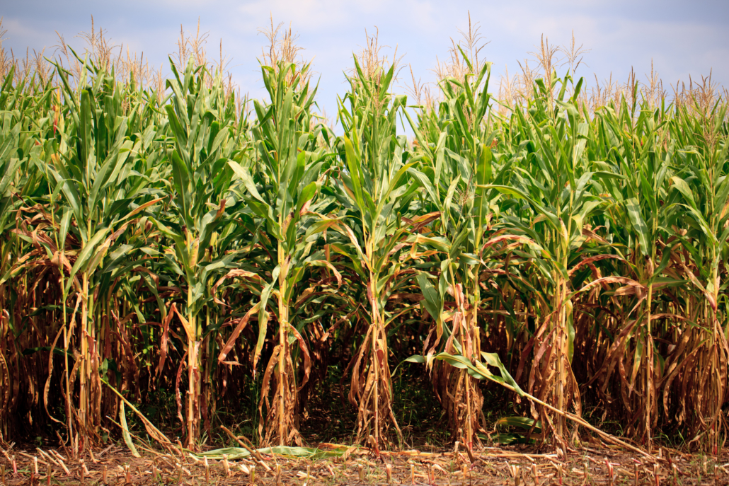 The Omnivore's Dilemma Corn Field